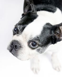 Aggie copyright 2012 zendog pet portraits