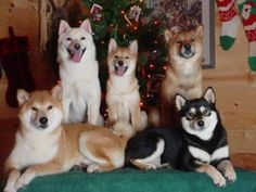 Shiba Inus. Obsessed! If I had a red and white one I would name them Lucy and Ethel!
