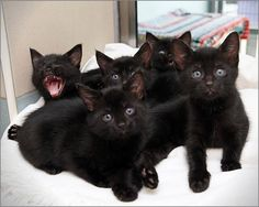 Whomsoever rescues a black cat is indeed most fortunate! Rescue shelter litter o… Whomsoever rescues a black cat is indeed most fortunate! Rescue shelter litter of adorable kittens! Crazy Cat Lady, Crazy Cats, I Love Cats, Cute Cats, Kittens Cutest, Cats And Kittens, Baby Animals, Cute Animals, Here Kitty Kitty