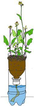 Wisconsin Fast Plants® Program