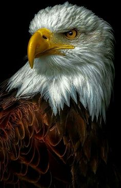 Types of Eagles - American Bald Eagle art portraits, photographs, information and just plain fun The Eagles, Types Of Eagles, Bald Eagles, Eagle Images, Eagle Pictures, Bird Pictures, Photo D Aigle, Wildlife Photography, Animal Photography