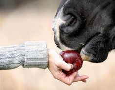 feeding a horse an apple