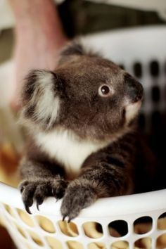 Koala in a laundry basket. I would bawl my eyes out of pure joy if I ever got a hug from one of these little nuggets.