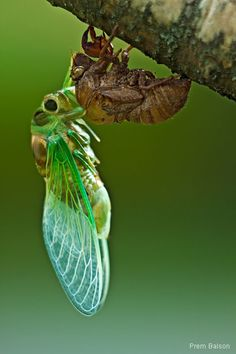 "Molting Cicada by Prem Balson. I find these ""shells"" they leave behind all over. kinda eerie, like an empty snake skin."