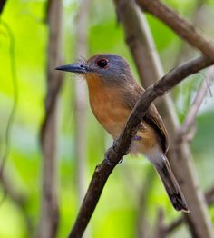 Grey-cheeked-Nunlet-