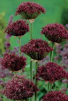 Allium atropurpureum bulbs produce deep pink and purple flower heads which add a new dimension to any border especially when mixed with other plants. Virtual Flowers, Perennial Bulbs, Cut Flower Garden, Astrantia, Pink And Purple Flowers, Spring Bulbs, Plants Online, Planting Bulbs, Allium