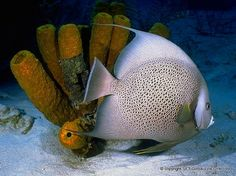 French Angel Fish