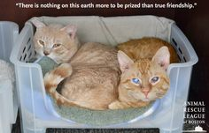 Leroy & Lionel are two very special boys who quickly won their way into our hearts. These sweet and gentle 2 year-old neutered male cats came to the League after being removed from an overcrowding situation where they weren't receiving the care they deserved. #cats #pets #adopt #animals #bffs #friendship