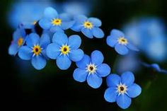 forget me not flowers - Bing images