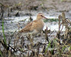 Pectoral Sandpiper, Denville , NJ 9-25-2011, via Flickr.
