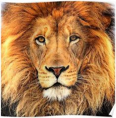 Another important animal in this world is the lion. Lion is known as one of the best animal and owner of the jungle. All the animals of the jungle are afraid of the style of the lion. Lion is famou… Beautiful Lion, Animals Beautiful, Cute Animals, Wild Animals, Beautiful Horses, Baby Animals, Lion Noir, Gato Grande, Lion Quotes