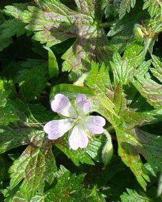 Geranium oxonianum ''Walter's Gift'' Plant Nursery, Geraniums, Perennials, Garden, Artist, Plants, Gifts, Inspiration, Beautiful