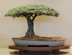 ...love this bonsai.