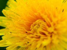 Maslačak: Zlata vrijedan lijek za stomak