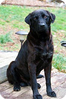 Asheville, NC - Labrador Retriever/Hound (Unknown Type) Mix. Meet Oak, a dog for adoption. http://www.adoptapet.com/pet/12570588-asheville-north-carolina-labrador-retriever-mix