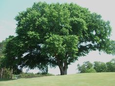 The Ulmus Americana or American elm is a great street tree. It is a zone 4 and with a height of feet and a foot spread it will create great tree tunnels as a street tree. Elm Tree Bark, Street Trees, The Neighbor, Shade Trees, Seed Pods, Growing Tree, North America, Roots, Gardens