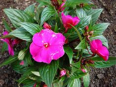 Niecierpek nowogwinejski różowy