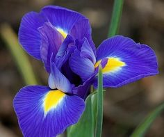 2 Fancy Blue Magic Dutch Iris Bulbs Yard Garden Plants Home Balcony Flower Decor Iris Tattoo, Purple Iris Flowers, Rare Flowers, British Flowers, Bulb Flowers, Garden Bulbs, Planting Bulbs, Garden Plants, Iris Drawing