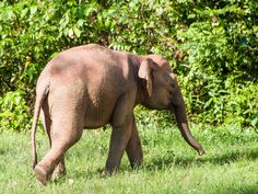 Only 1,500 Borneo pygmy elephants are left in the wild. These elephants are severely threatened by habitat loss due to the destruction of the rainforest. Sign this petition to support protections for the pygmy elephant and its habitat.