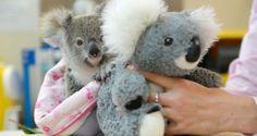 Shayne é um coala órfão de apenas nove meses, encontrado a 20 metros do corpo de sua mãe, que morreu...