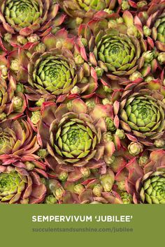 This monocarpic succulent has beautiful bright green and pink rosettes. As it grows, it produces offsets that can be easily propagated. It spreads out, forming a low-growing mat. Types Of Succulents, Cacti And Succulents, Planting Succulents, Succulent Care, Succulent Gardening, Tall Plants, Indoor Plants, Rat Tail Cactus, Die Macher