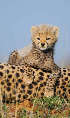 These top predators are as fascinating as they are fierce. #cheetahs #animals