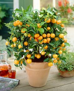 Delicious - Ornamental Fruit that's Easy to Grow! - - Seedless  - Easy to peel  - Delicious & Juicy   Clementines are exploding in popularity. They are sweet, juicy, and easy to peel.   Anyone who has ever fought with a naval orange will appreciate the Clementine's loose skin. Even small children can easily peel them.   Have you ever felt...