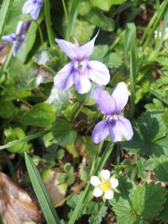 Dog violets in the gardens of Sharpham House on the Sharpham Estate, Spring 2015.  Pin us at www.pinterest.com/sharphamtrust Like Sharpham Trust at www.facebook.com/SharphamTrust Follow us @SharphamTrust Visit us at www.sharphamtrust.org