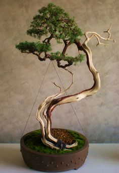 @teririder this is a very sinuous trunk with exaggerated curves.  Juniperus Communis yamadori