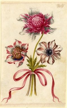 Drawing from an album, crimson and white Anemones, tied with crimson ribbon Watercolour over metalpoint, shaded with grey wash, on vellum
