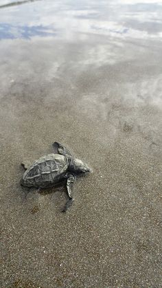 https://www.abroaderview.org Volunteer Costa Rica Sea Turtles Conservation Programs