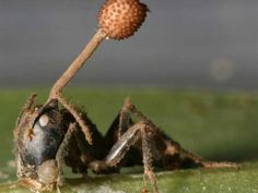 Oh this? It's just a fungus that manipulates an individual ant's behavior for a time until it dies, sprouts from its head, releases its spores, and hopes the ant's family is nearby mourning.