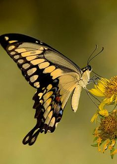 Giant Swallowtail Greeting Card for Sale by Gregory G Dimijian MD Beautiful Butterfly Pictures, Butterfly Images, Beautiful Bugs, Butterfly Kisses, Beautiful Butterflies, Flying Flowers, Butterflies Flying, Beautiful Creatures, Animals Beautiful