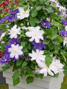 Ice Blue and Kingfisher clematis are combined in a pot, showing off the varieties' complementary colors.