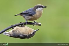 Christine Haines was a runner-up in 2012 with her image of two pygmy nuthatches. ~ The Nature Conservancy photo contest: amazing photos