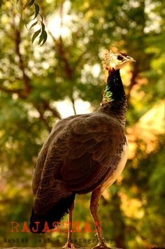 #rajasthan #peacock #india #nationalanimal #incredibleindia #photography