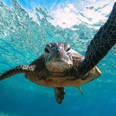 sea life - sea life photography - sea life underwater - sea life artwork - sea life watercolor sea l Cute Turtles, Baby Turtles, Sea Turtles, Sea Turtle Pictures, Animal Pictures, Animals And Pets, Baby Animals, Cute Animals, Beautiful Creatures