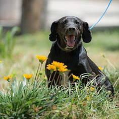 Irvine, California - Labrador Retriever. Meet Lucille, a for adoption. https://www.adoptapet.com/pet/21311516-irvine-california-labrador-retriever-mix