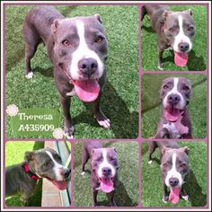 THERESA - ID#A435909 - URGENT - San Antonio Animal Care Services in San Antonio, Texas - ADOPT OR FOSTER - 3 year old Female Pit Bull Terrier Mix - at the shelter since June 1, 2017 - Theresa's a very sweet & loving girl looking for her forever home. She's working with our trainer to help build confidence. Once she trusts you, she's yours forever. While this does take time, the payoff is a devoted friend by your side. Due to her shyness, we recommend a home without small children.
