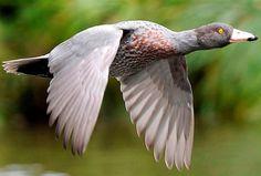 Blue duck in flight Aquatic Birds, Predator, Ducks, Pet Birds, Swans, Feathers, Blue, Animals, Bullying