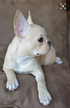 The major breeds of bulldogs are English bulldog, American bulldog, and French bulldog. The bulldog has a broad shoulder which matches with the head. French Bulldog For Sale, White French Bulldogs, Fawn French Bulldog, French Bulldog Puppies, Cream French Bulldog, Frenchie Puppies, Cute Puppies, Cute Dogs, Dogs And Puppies