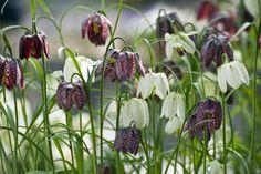 Rutelilje, Fritillaria meleagris. Nydelige løkplanter du kan ha i krukke innendørs - for så å plante dem ut i hagen når frosten går.