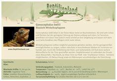 Artgerechte Haltung der Blaukehl-Winkelkopfagame. Unsere Karteikarten können auch zur Beschriftung von Terrarien verwendet werden. Mehr unter www.Reptilienland.com