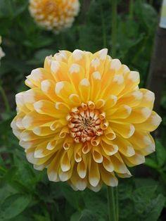 Photo of the bloom of Dahlia 'So Happy' Types Of Flowers, All Flowers, My Flower, Beautiful Flowers, Dahlia Flowers, Bonsai, Garden Bulbs, Herbaceous Perennials, Zinnias