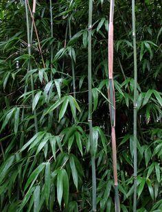 Fargesia Denudata 'Xian 1' Sterk bemeelde jonge halmen met smal sierlijk blad. De sierlijkste en meest opgaande Fargesia denudata. Verzameld op 2500 meter hoogte. Nieuwe generatie! Introductie door Kimmei. Hoogte 2-3 m.  zon tot schaduw    winterhard tussen -20/-25°C