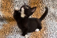 dwarf kitty II by hoschie.deviantart.com on @deviantART