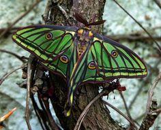 Luna moth's are very colourful!