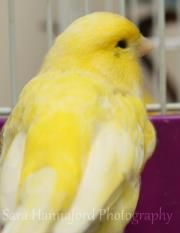 Canaries is an adoptable Canary Finch in Alliston, ON. These six little yellow canaries are some of our most peaceful residents at the shelter. These girls/boys are an extremely welcome background noi...