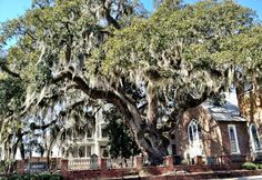 """Live Oak in Conway SC In Conway, it was once illegal to cut down Live Oaks just to put in a city street. Therefore, a couple of places in Conway still have streets that are to split to go around the stately trees or are one lane. Notice also, the Spanish Moss hanging from the trees. """"It's a Southern Thing Ya'll!"""""""