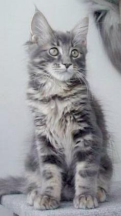 fb24f5382 long hair silver tabby. Look at the size of those feet!!!! Cute Baby AnimalsCute  Funny ...